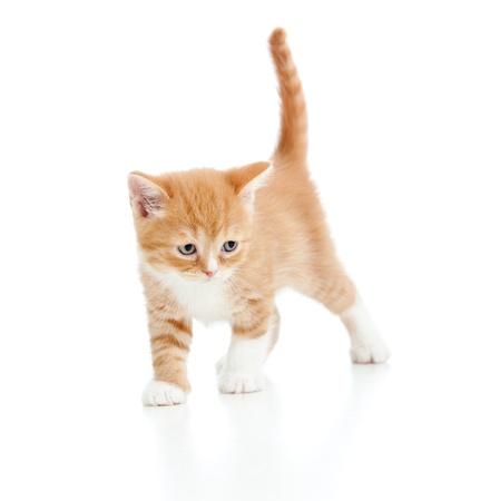 bebé gatito gato escocés aisladas sobre fondo blanco