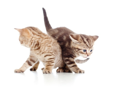 two young cat kittens play together photo