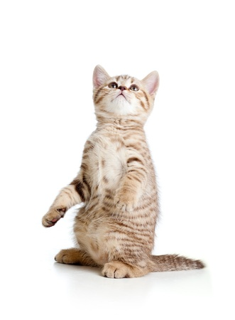 beautiful cat: cute standing cat kitten isolated on white background