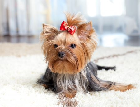 puppy yorkshire terrier indoor photo