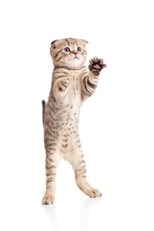 british pussy: Funny playful kitten is dancing  Isolated on white background