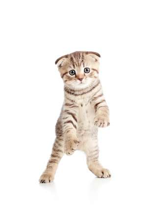 Funny playful kitten is dancing  Isolated on white background photo