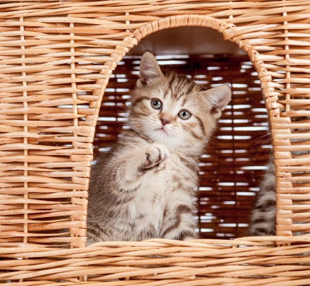 funny little Scottish kitten looking from wicker cat house photo