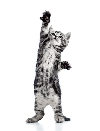 furry animals: divertido gatito juguetón gato negro aislado en blanco