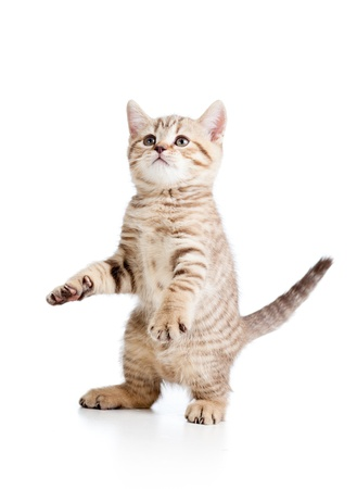 gato atigrado: Gato juguet�n divertido aislado sobre fondo blanco