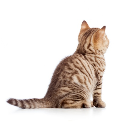 sit up: rear view of tabby-cat kitten isolated on white