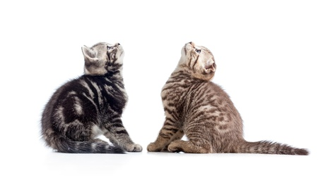 fold back: two kittens cats sitting opposite and looking up Stock Photo
