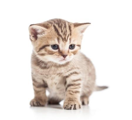 cuddly: funny Scottish british kitten on floor