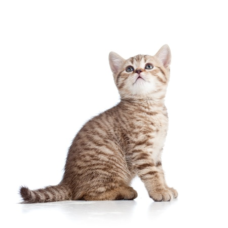 cute cat kitty looking up on white Stock Photo - 15276865