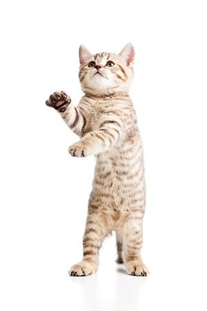 gato jugando: Gato juguet�n divertido aislado sobre fondo blanco