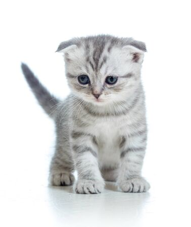 Scottish fold kitten isolated on white photo