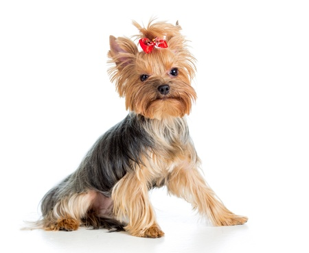 puppy yorkshire terrier isolated on white background Stock Photo - 17459660