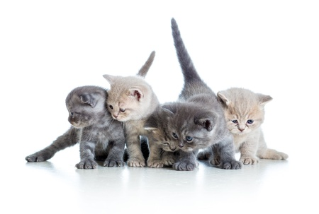 five funny Scottish kittens isolated on white background photo