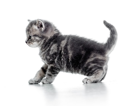 funny walking black cat kitten isolated on white photo