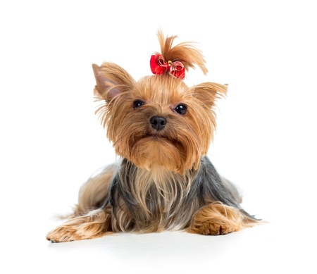 dog grooming: puppy yorkshire terrier isolated on white background Stock Photo