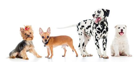 miniature dog: set of pets dogs isolated on white background