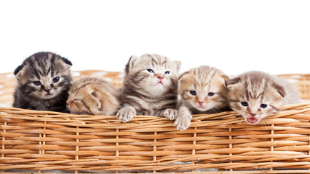 kitten small white: five small cats kittens in basket Stock Photo