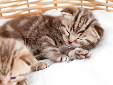 sleeping small kitten in wicker basket photo