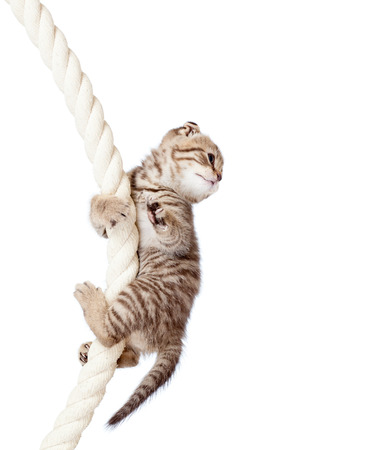 hanging on: cat kitten climbing on rope isolated on  white background Stock Photo