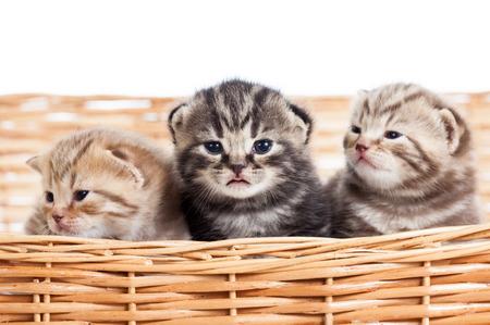 small cats kittens in wicker basket photo