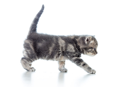 funny walking cat kitten isolated on white photo