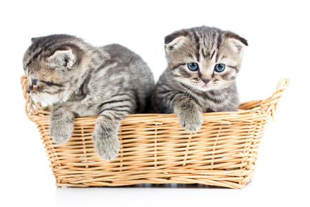two funny small cats kittens in wicker basket photo