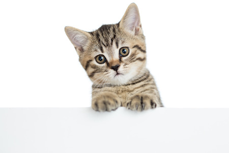 animal pussy: cat kitten peeking out of a blank banner, isolated on white background