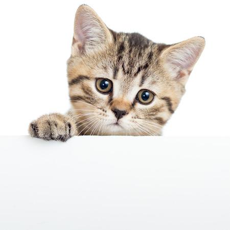 Cat kitten opknoping over lege poster of bord, geïsoleerd op wit