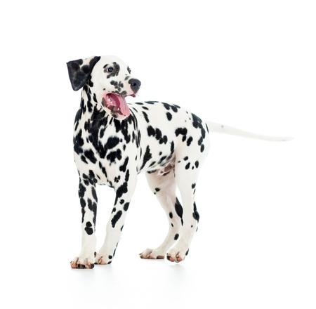 spotty: Dalmatian dog puppy isolated on white background Stock Photo