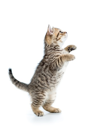 playful cute scottish cat looking up isolated Stock fotó