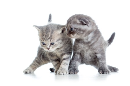 two funny young cat kittens playing together photo