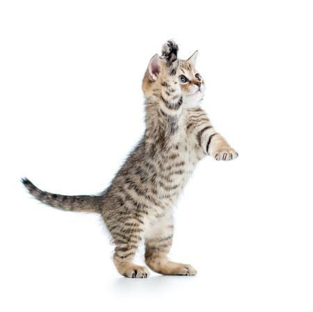 british pussy: playful scottish kitten looking up. isolated on white background