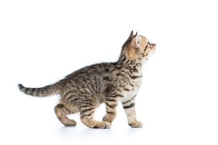 kitten small white: side of view of kitten cat isolated on white Stock Photo
