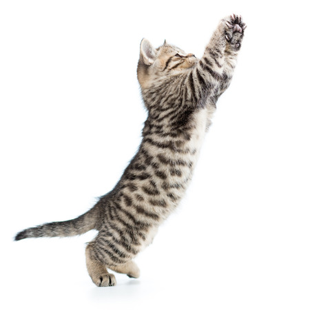 playful scottish kitten jumping up isolated on white background