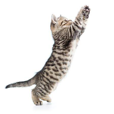 kitten: playful scottish kitten jumping up isolated on white background