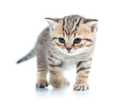 grey tabby: walking cute kitten cat isolated on white Stock Photo