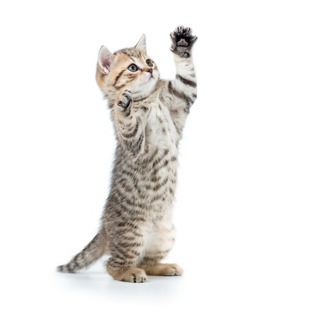 playful scottish cat kitten looking up. isolated on white background Stock Photo - 34376816