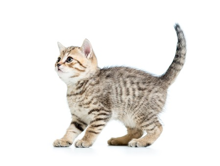 british people: playful pedigree kitten cat isolated on white