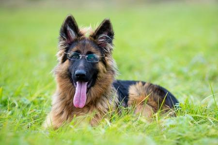 perros graciosos: Pastor alemán del perro joven en hierba verde en el parque. Lentes divertidos del perrito llevado.