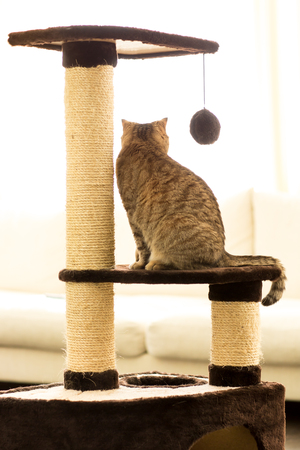 rear view of tabby-cat sitting on a scratching post in living room