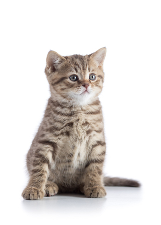 pussy: Scottish straight small cat kitten sitting isolated on white background Stock Photo