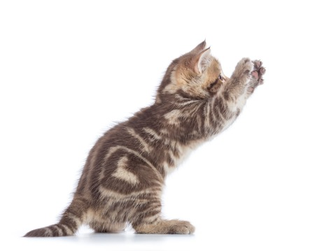 Playful Scottish Straight kitten side view isolated on white background