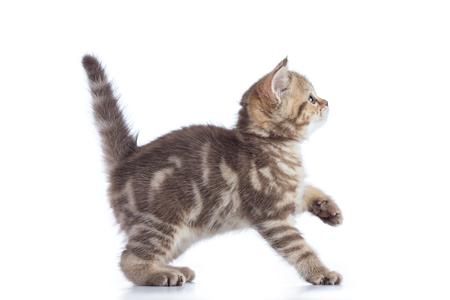 Scottish cat kitten profile side view