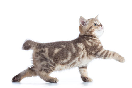 scottish cat kitten walking isolated on white background