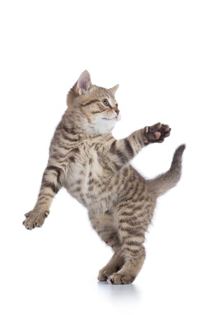 gray cat: Funny striped kitten playing and jumping isolated on white