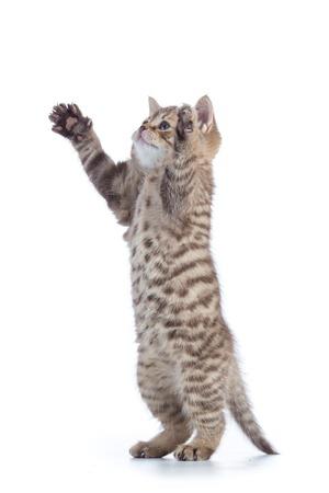 gray cat: Tabby cat kitten isolated on white background