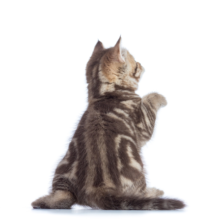 rear view of playful tabby-cat kitten isolated on white background