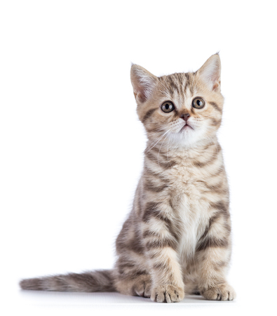 Cute scottish shorthair kitten cat isolated on white Stock Photo