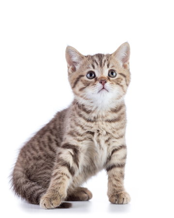 Cute scottish shorthair kitten cat looks up isolated on white