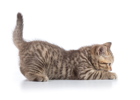 Funny scottish cat kitten profile side view isolated